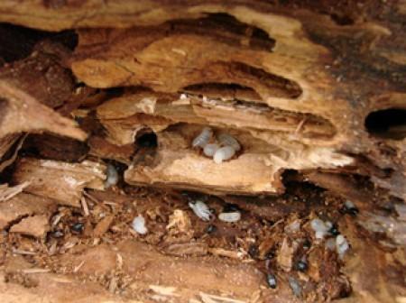 La déclaration en mairie de la présence de termites dans un immeuble